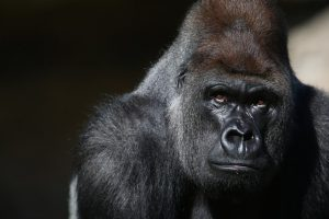 LONDON, ENGLAND - MAY 02:  Kumbuka, a 15-year-old western lowland gorilla, explores his new enclosure in ZSL London Zoo on May 2, 2013 in London, England. The silverback male, who weights 185 kg and stands seven foot tall, moved from Paignton Zoo two weeks ago. It is hoped that Kumbuka will mate with the zoo's three female gorillas to increase numbers of the critically endangered species as part of the European breeding programme.  (Photo by Oli Scarff/Getty Images)